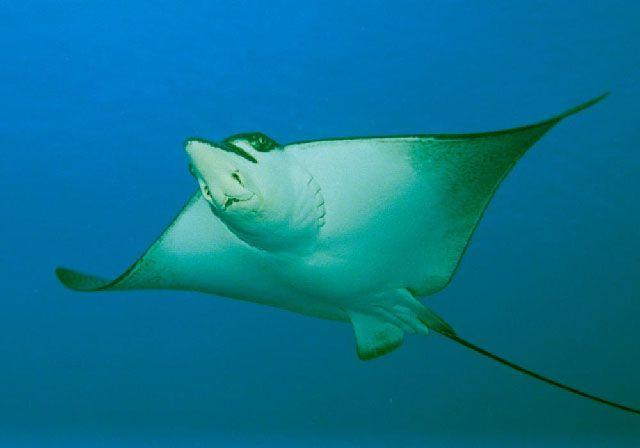 Ray swims wallpaper