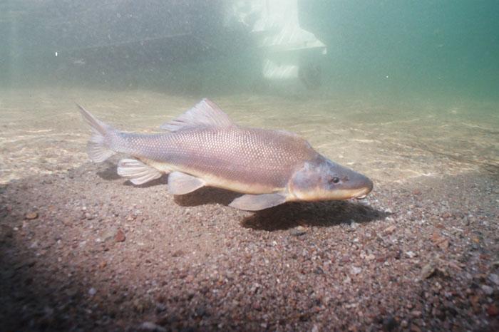 Рыба бронепанцирь плывет фото