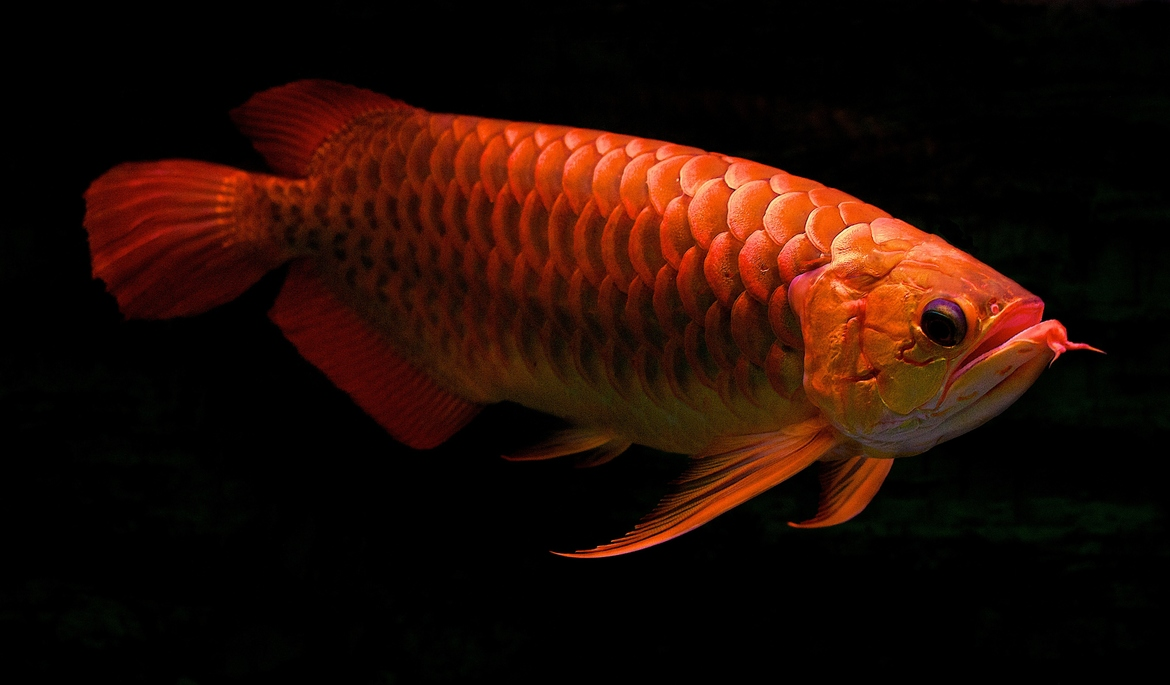 red arowana photo and wallpaper  cute red arowana pictures