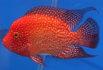 Red cichlid