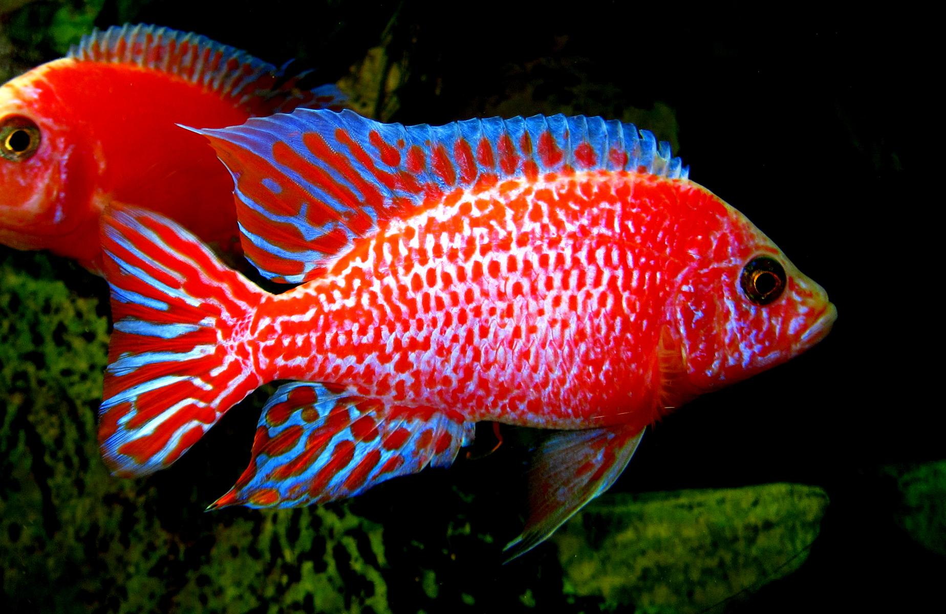 Red firefish wallpaper