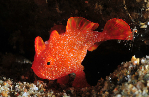 Red frogfish wallpaper