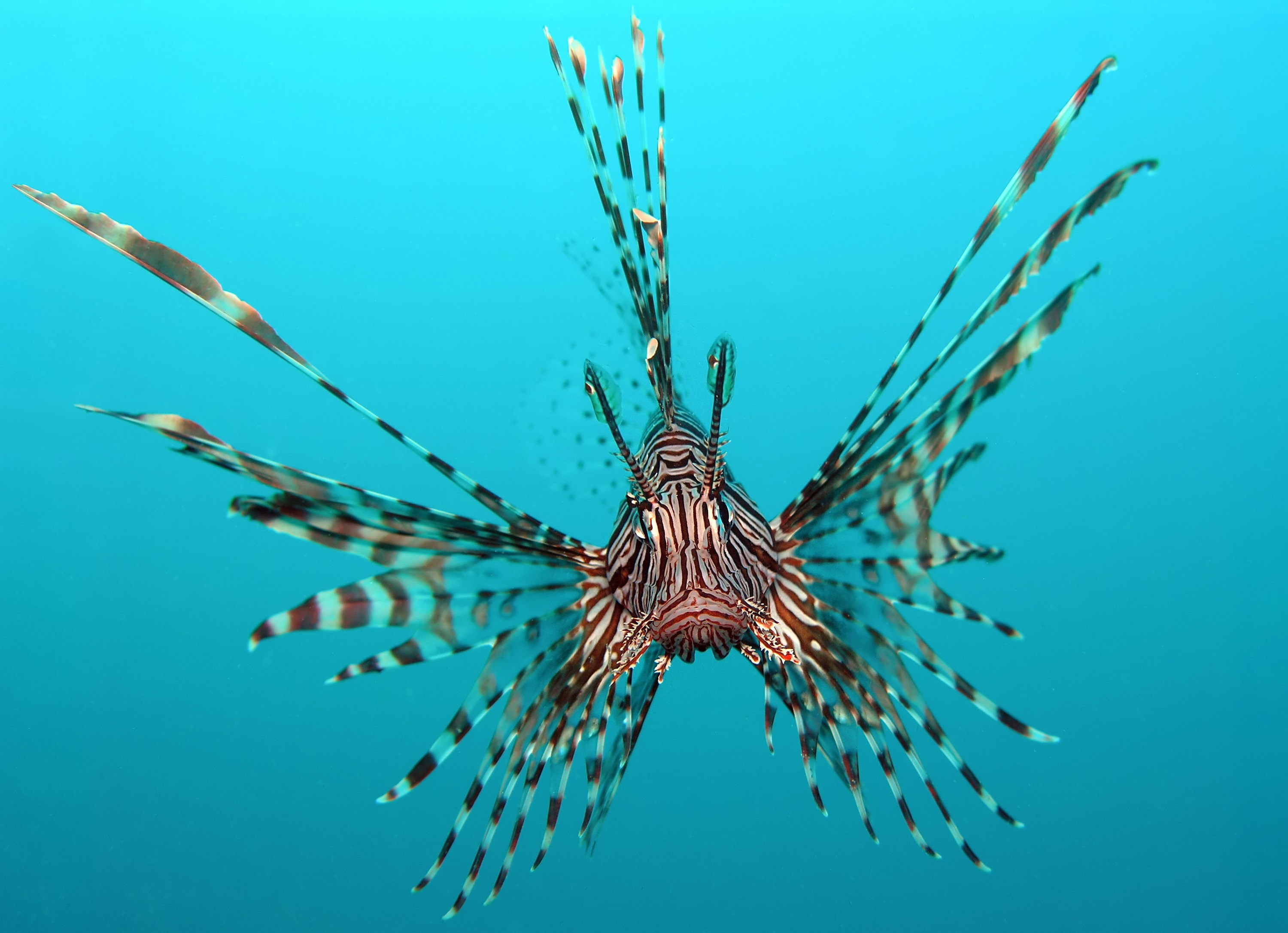Red lionfish wallpaper
