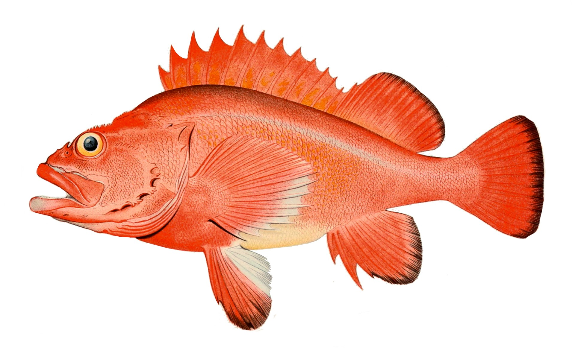 Red rockfish wallpaper