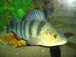 Redfin perch in the aquarium
