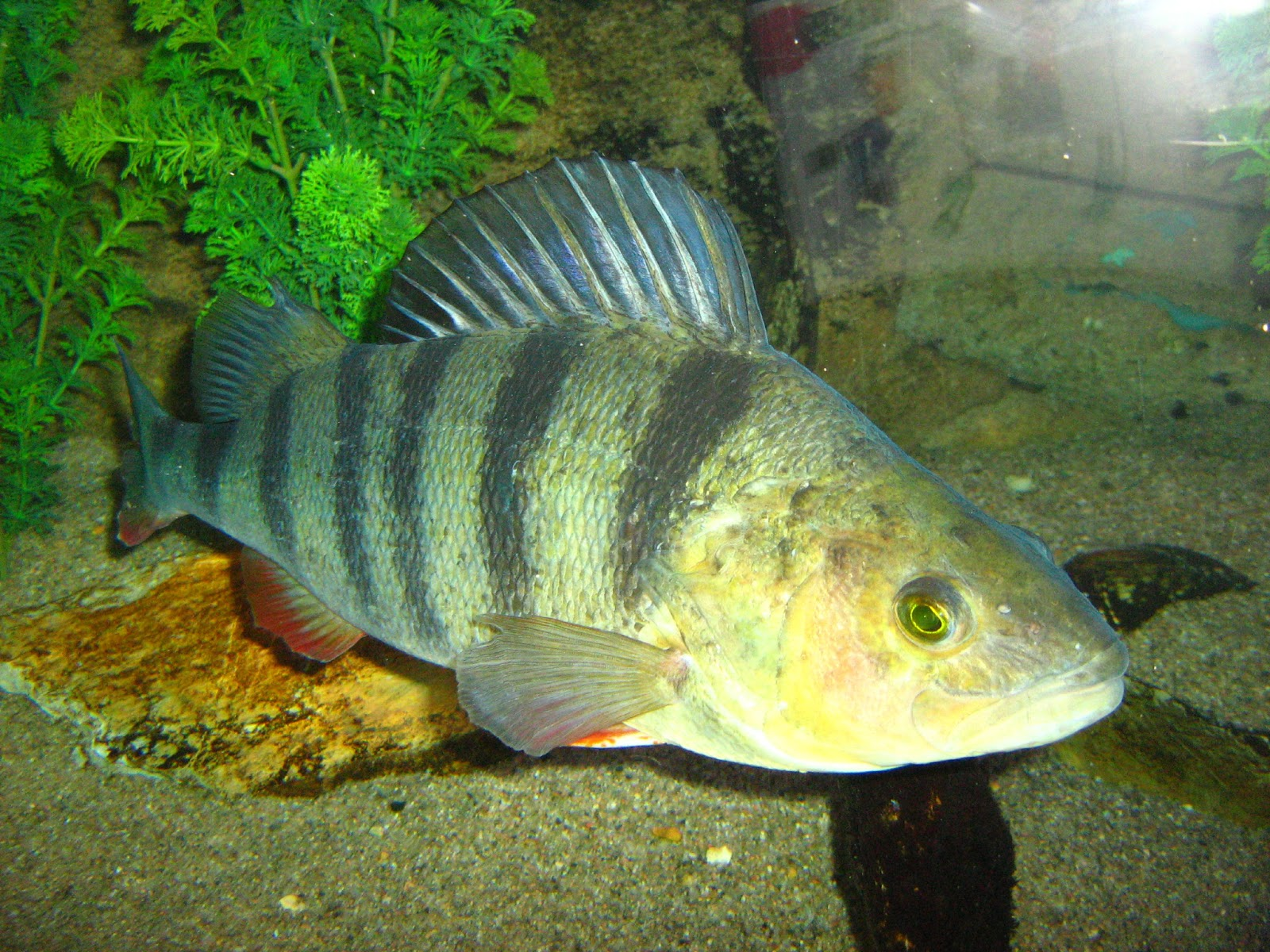 Redfin perch in the aquarium wallpaper