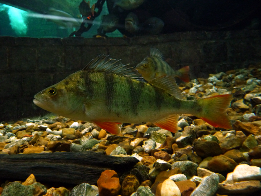 Redfin perch wallpaper