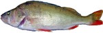 Redfin perch side view