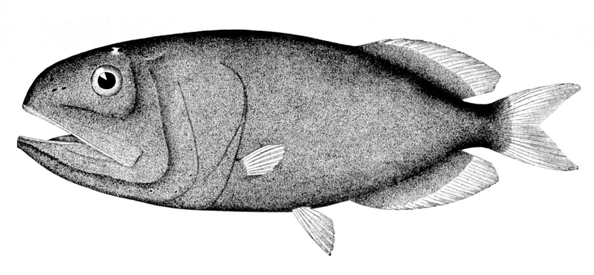 Redmouth whalefish wallpaper