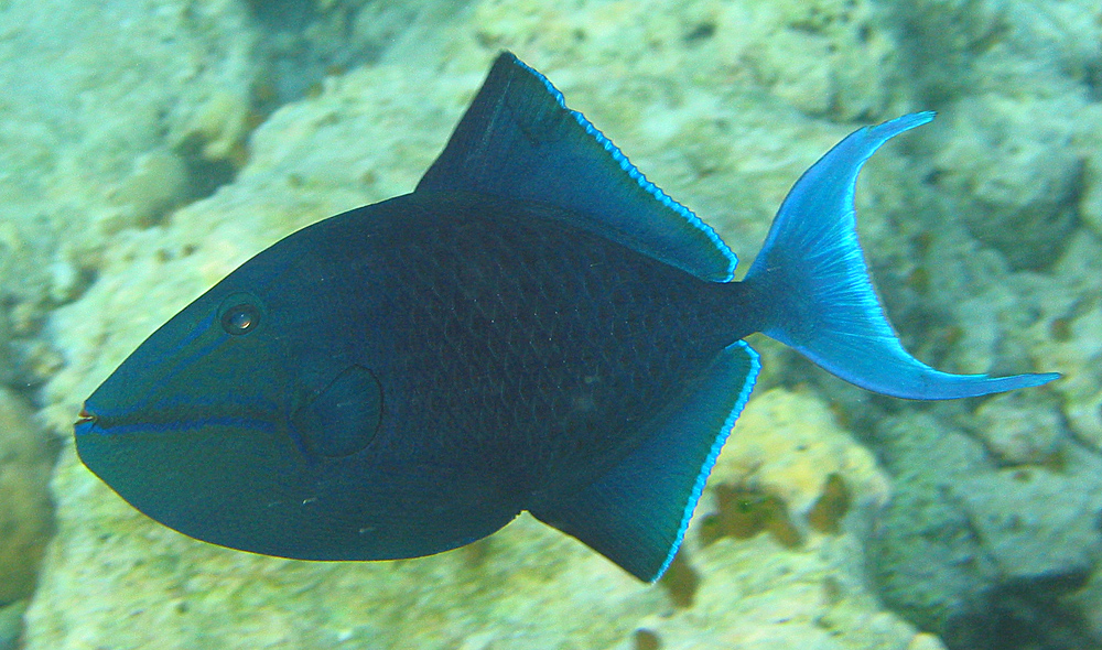 Redtooth triggerfish wallpaper