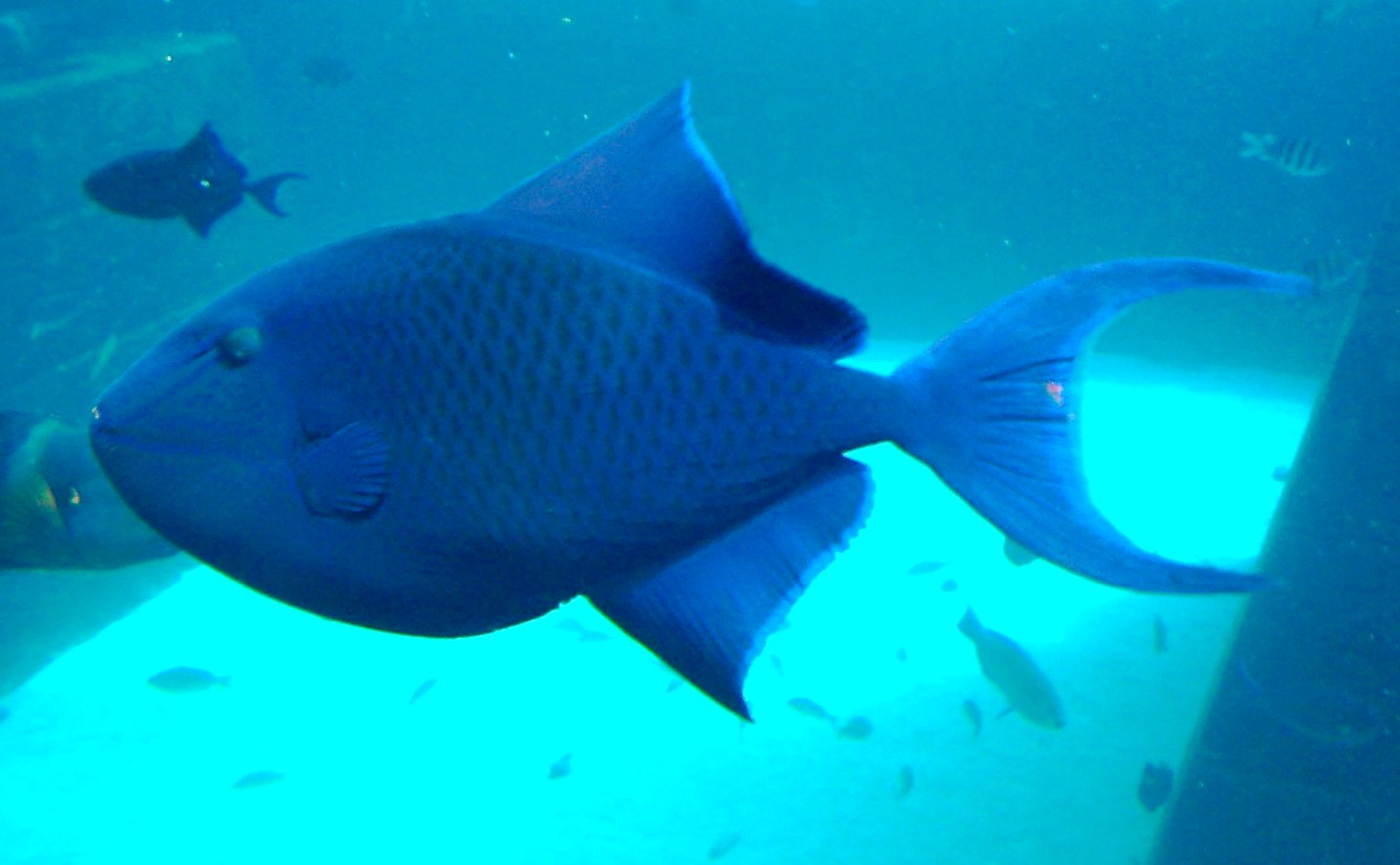 Redtooth triggerfishes in the aquarium wallpaper