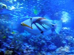 Reef triggerfish swims