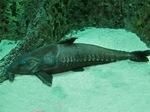 Resting Armorhead catfish