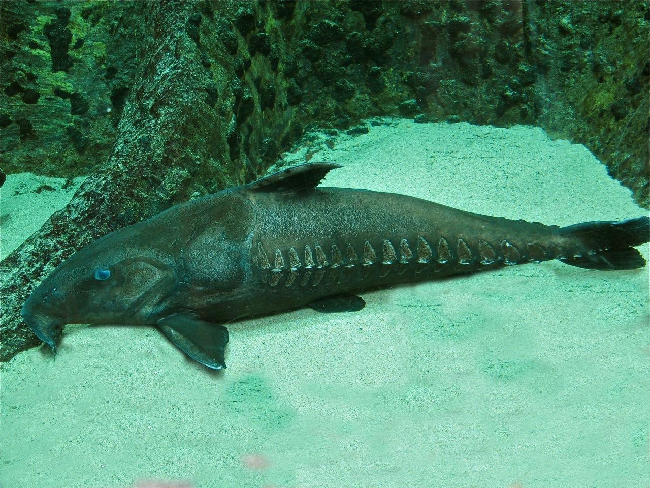 Resting Thorny catfish wallpaper