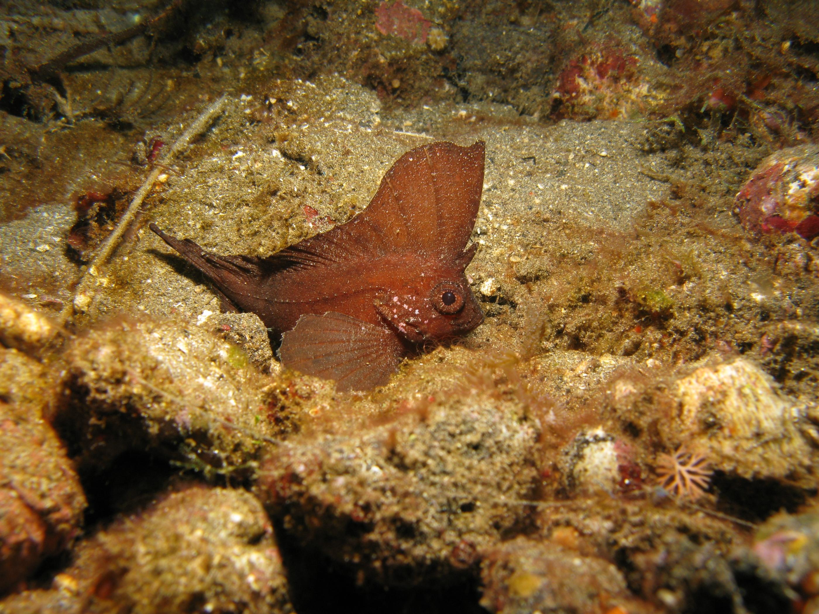 Рыба-оса отдыхает фото