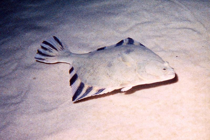 Righteye flounder near the bottom wallpaper