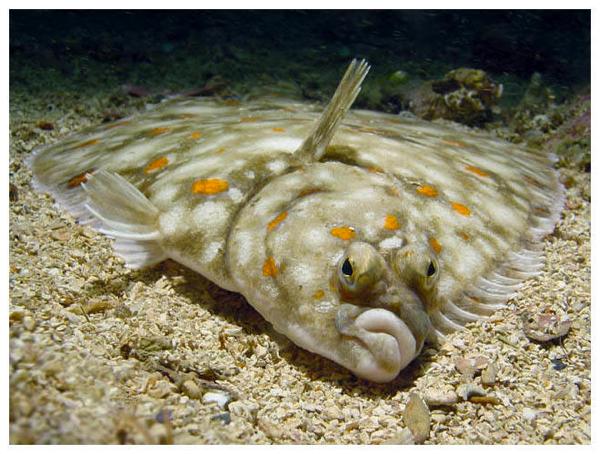 Righteye flounder on the sand wallpaper