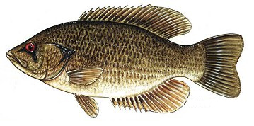 Rock bass wallpaper