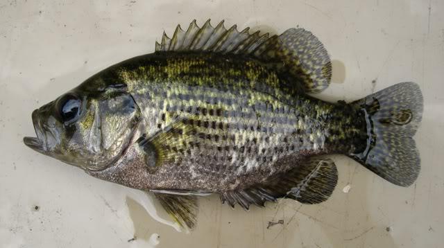 Рыба бас фото