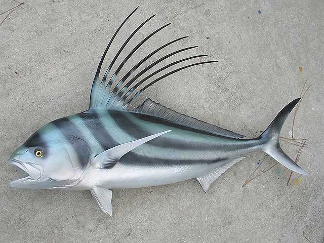 Roosterfish on the surface photo and wallpaper cute for Rooster fish pictures