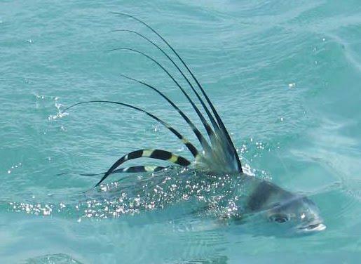 Рыба-петух на поверхности фото