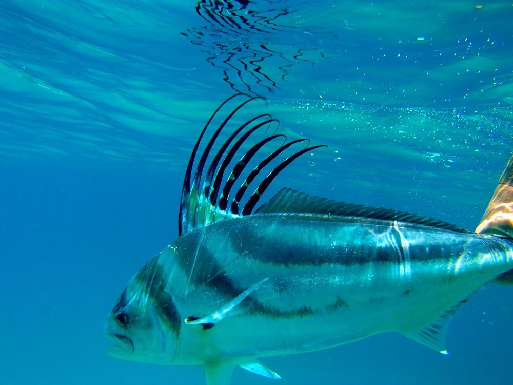 Рыба-петух под водой фото