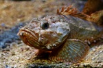 Rough sculpin