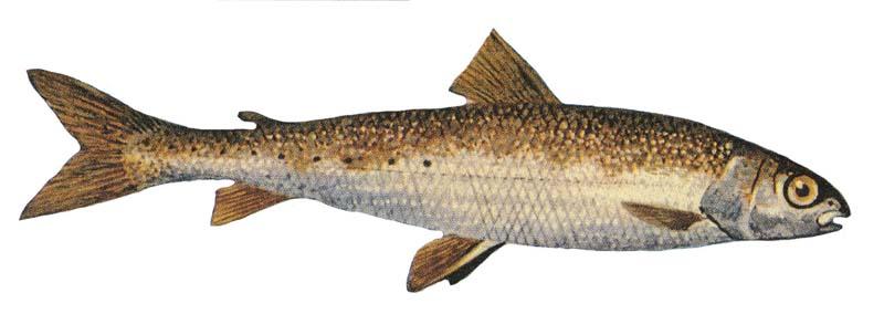 Round whitefish wallpaper