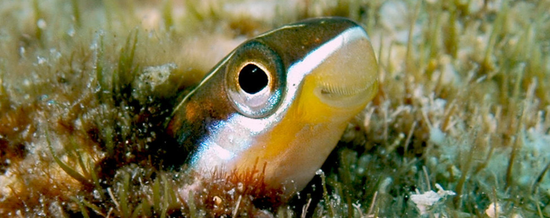 Saber-toothed blenny face wallpaper