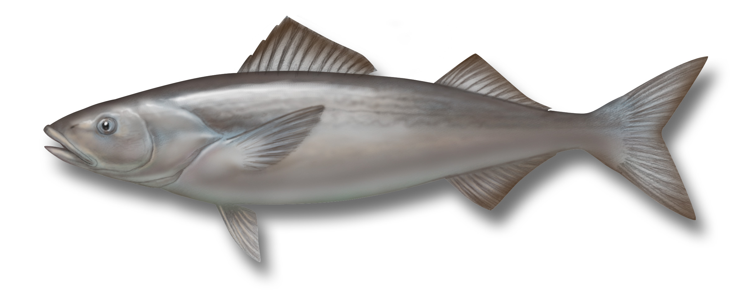 Sablefish drawing wallpaper
