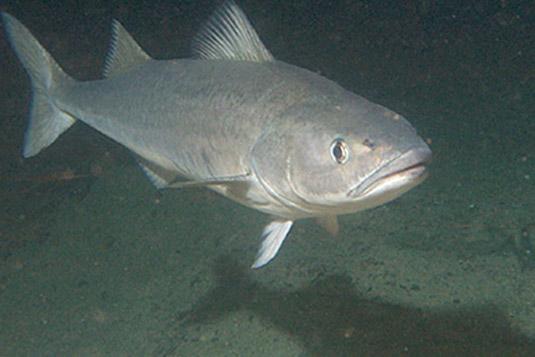 Sablefish looking at you wallpaper