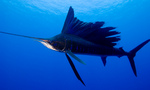 Sailfish side view