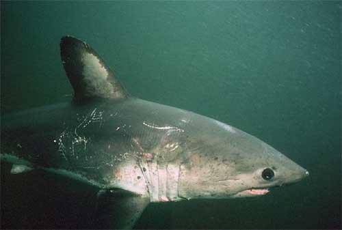 Лососевая акула плывет фото