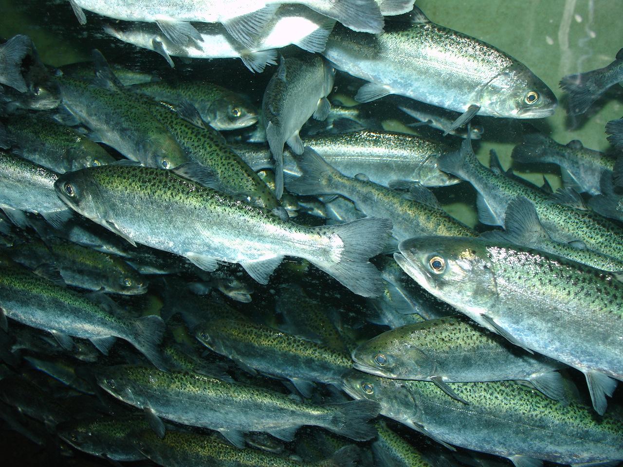 Salmons swimming wallpaper