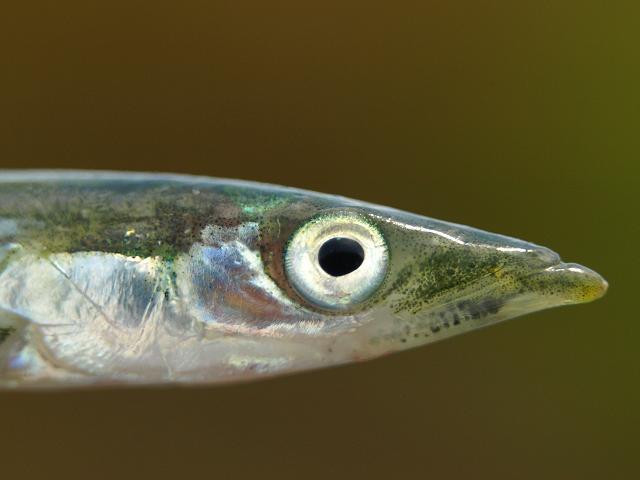 Sand eel head wallpaper
