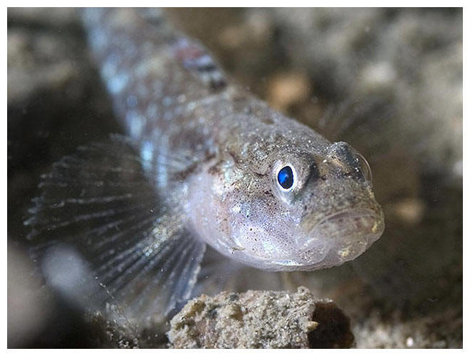 Sand goby face wallpaper