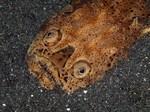 Sand stargazer face