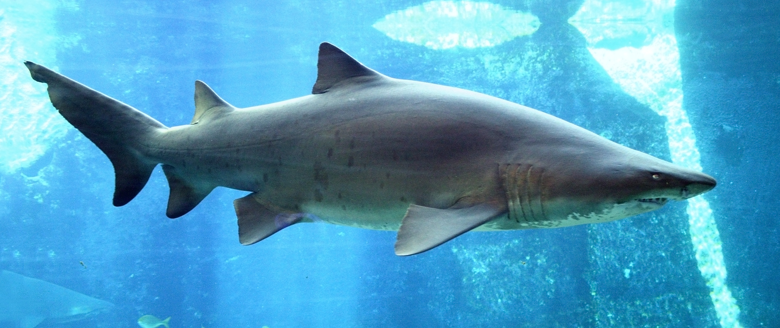 Sand tiger wallpaper