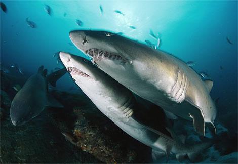 Песчаные тигровые акулы фото
