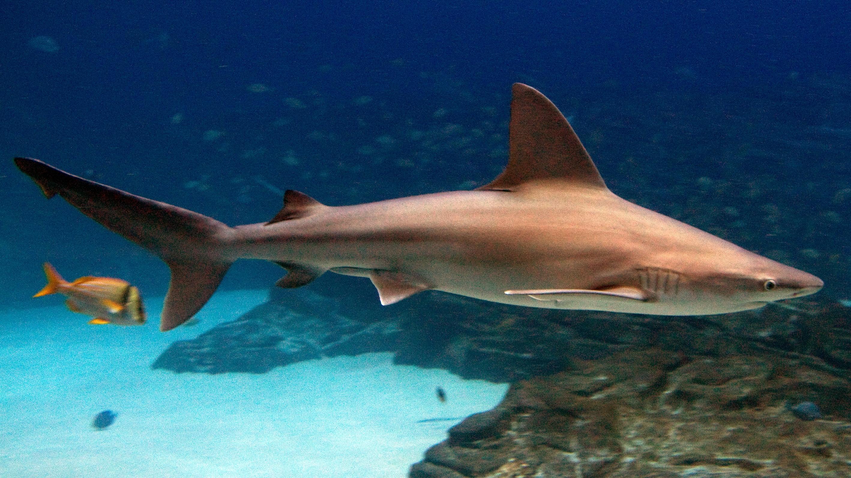 Sandbar shark wallpaper