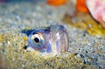 Sandfish face