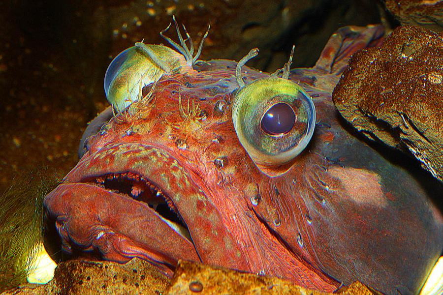 Sarcastic fringehead face wallpaper