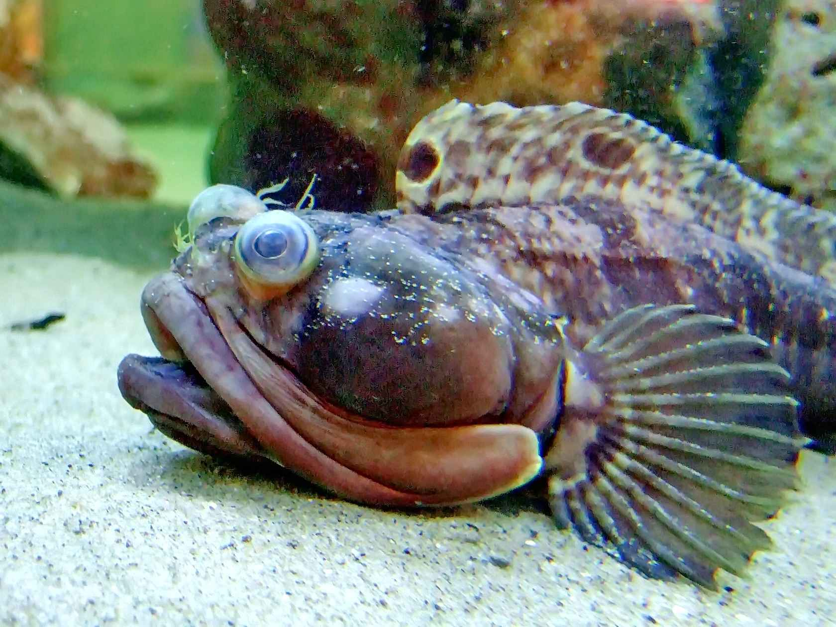 Sarcastic fringehead on the sand wallpaper
