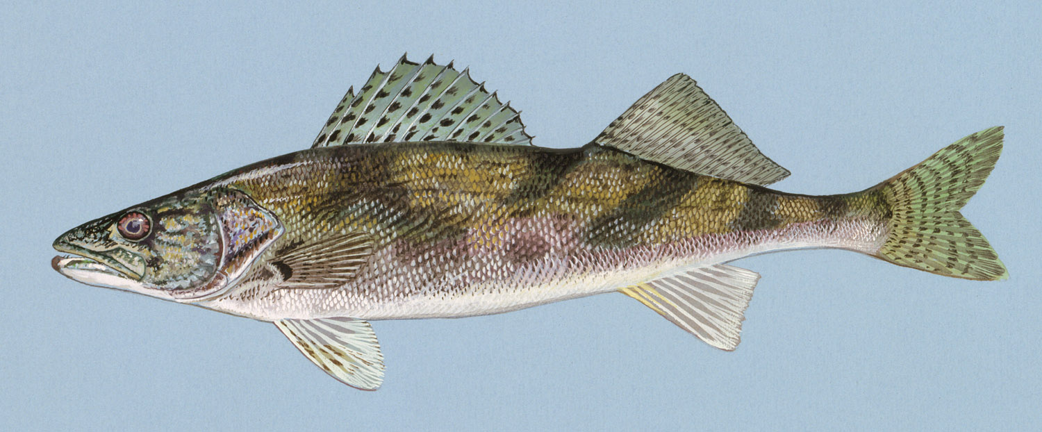 Sauger drawing wallpaper