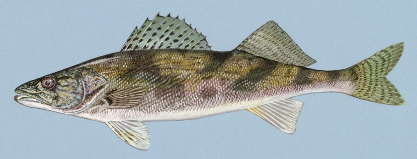 Sauger wallpaper