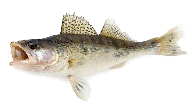 Sauger portrait wallpaper