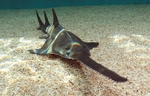 Sawfish looking at you