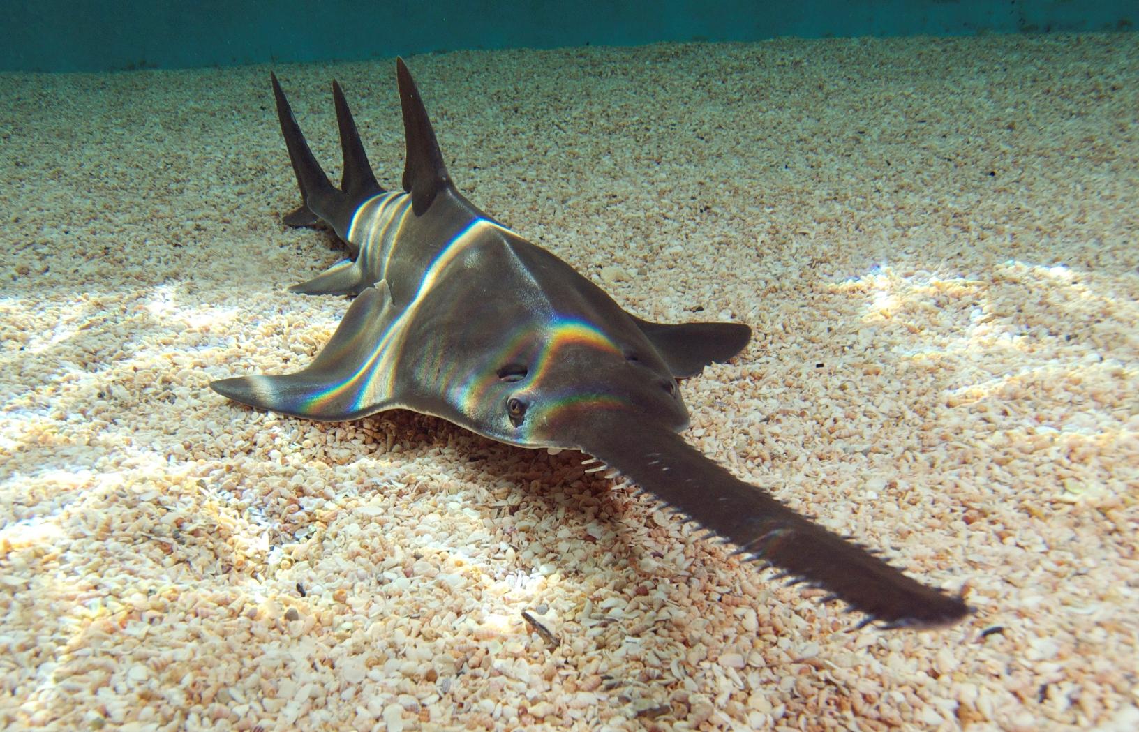 Sawfish looking at you wallpaper