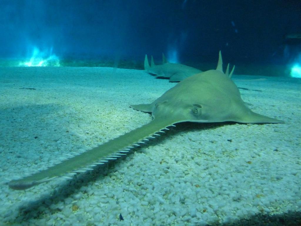 Sawfish on the sand wallpaper