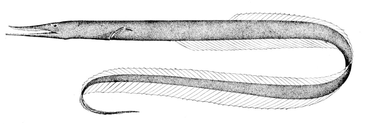 Sawtooth eel wallpaper